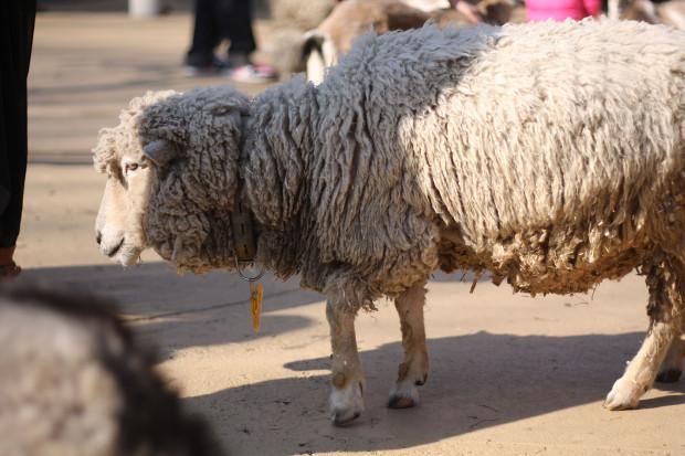 羊(ひつじ)001