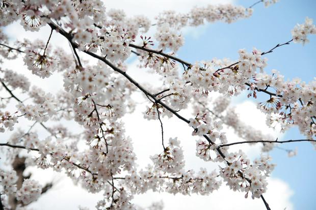 桜(さくら)076