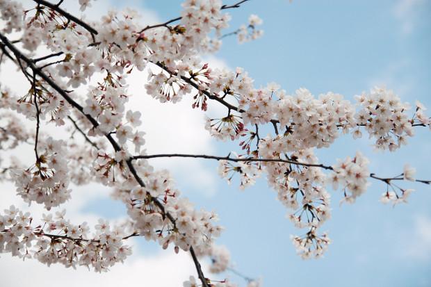 桜(さくら)077