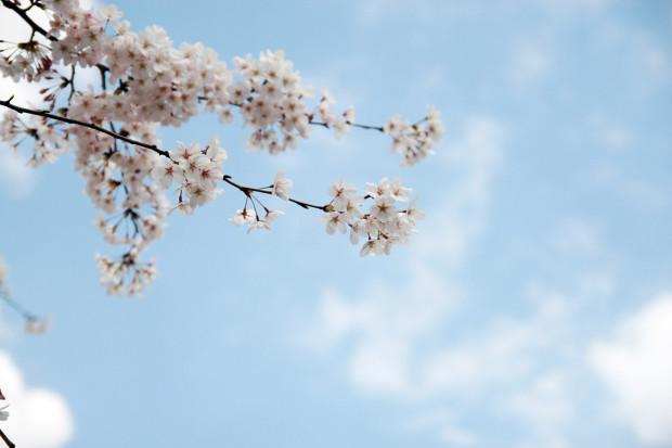 桜(さくら)078