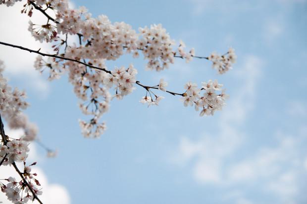 桜(さくら)079