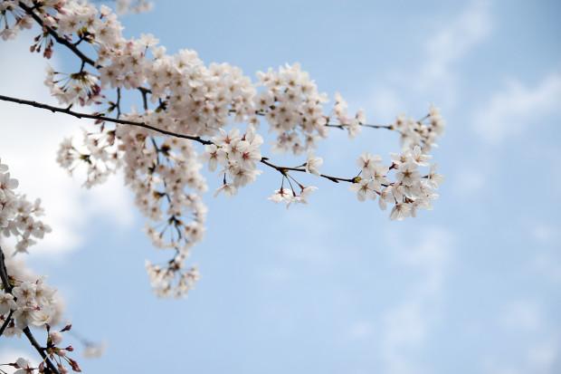 桜(さくら)080