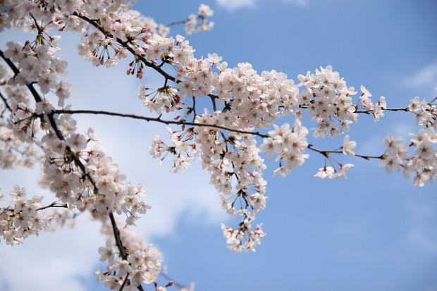 桜(さくら)081