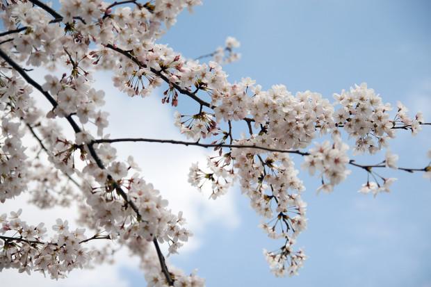 桜(さくら)082