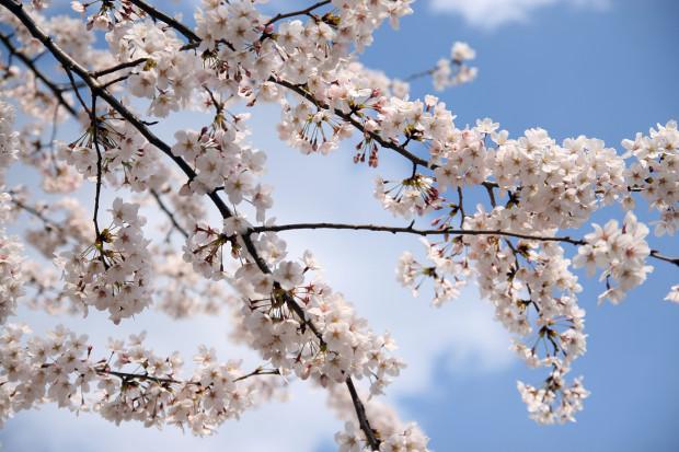 桜(さくら)083