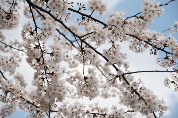 桜(さくら)084