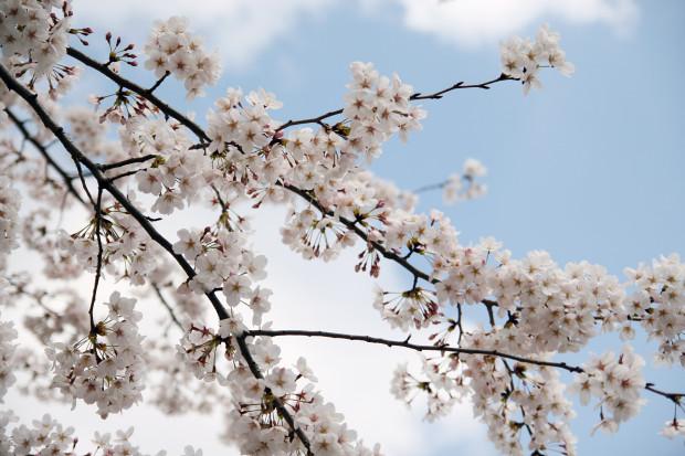 桜(さくら)085