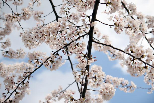 桜(さくら)086