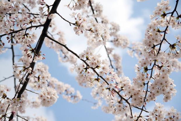 桜(さくら)087