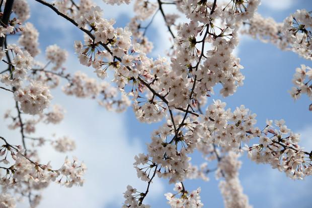 桜(さくら)088