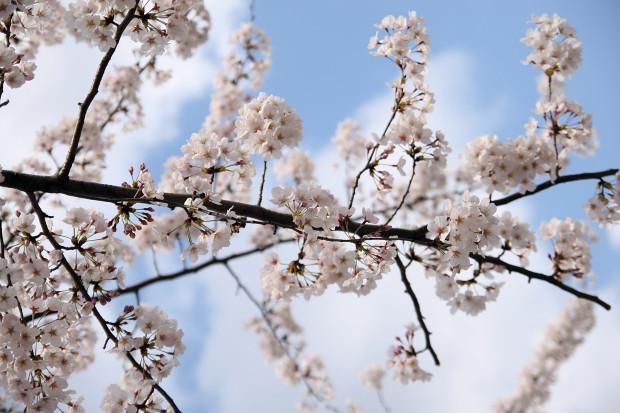 桜(さくら)091