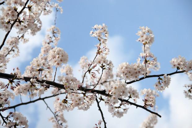 桜(さくら)092