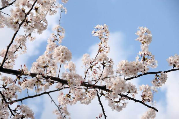 桜(さくら)093
