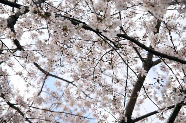 桜(さくら)096