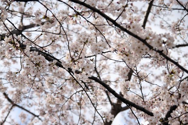 桜(さくら)097