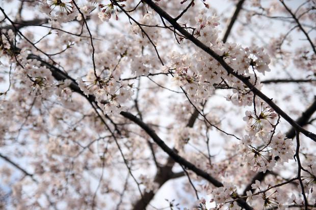 桜(さくら)098