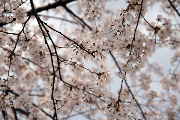 桜(さくら)099