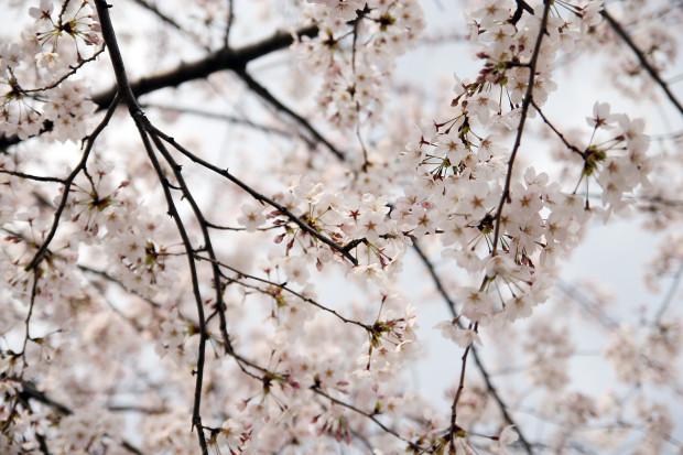 桜(さくら)100
