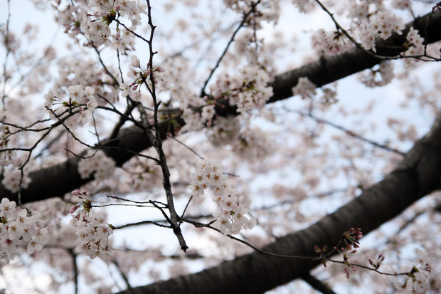 桜(さくら)101