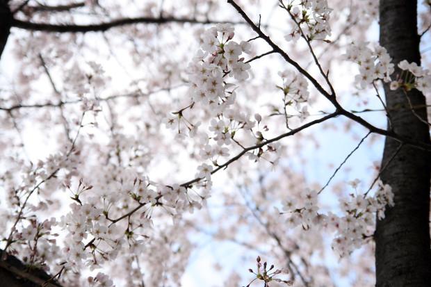 桜(さくら)102