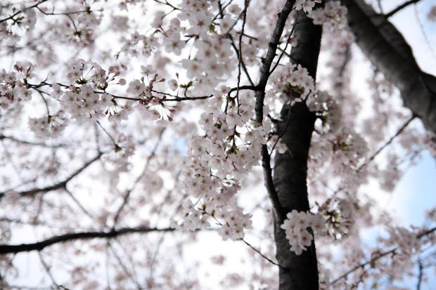 桜(さくら)103