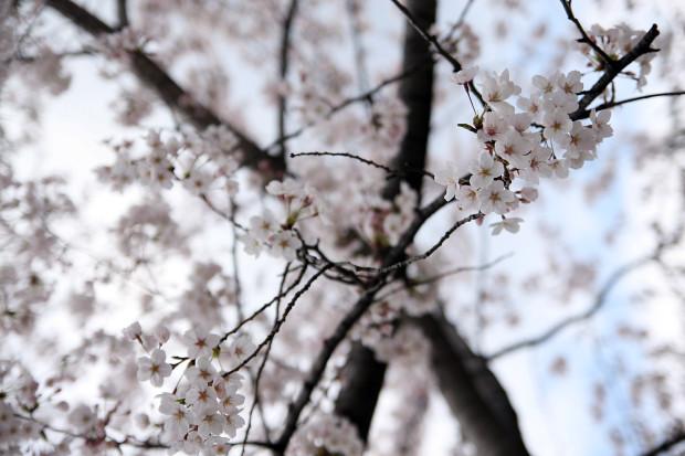 桜(さくら)105