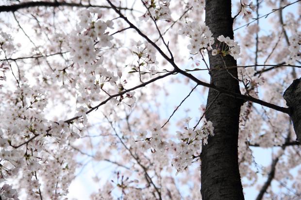 桜(さくら)106