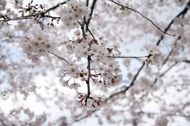 桜(さくら)107