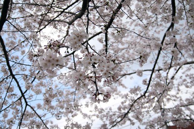 桜(さくら)109