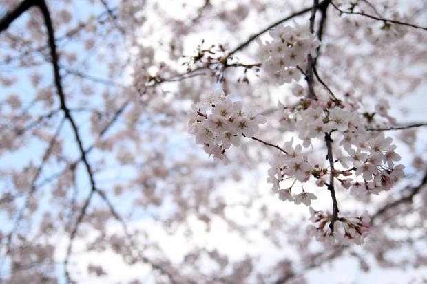 桜(さくら)111