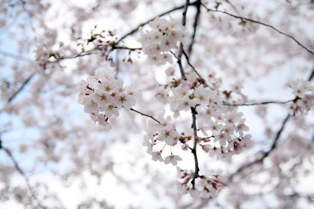 桜(さくら)112