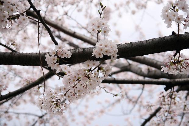桜(さくら)113