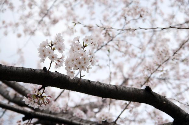 桜(さくら)114