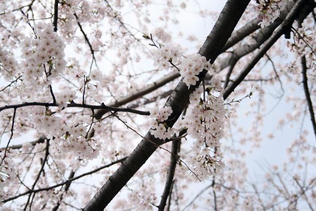 桜(さくら)115
