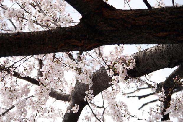 桜(さくら)117