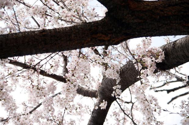 桜(さくら)118