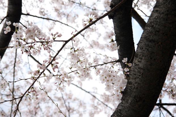 桜(さくら)119