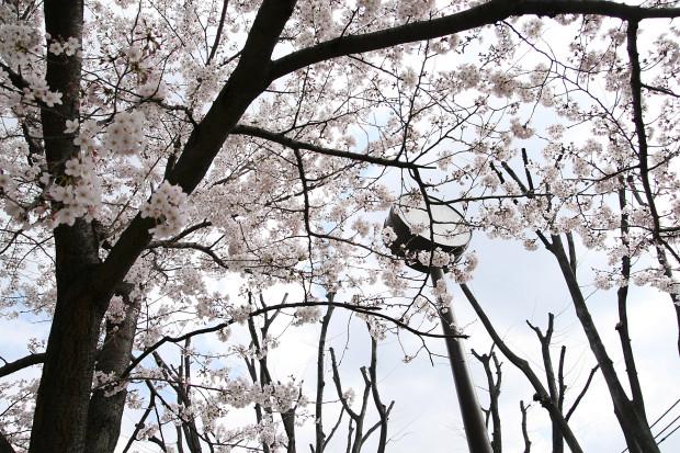 桜(さくら)121