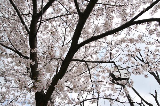 桜(さくら)122