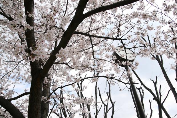 桜(さくら)123