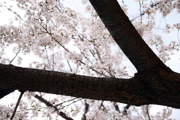 桜(さくら)124