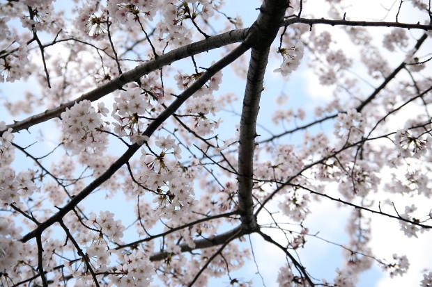 桜(さくら)125