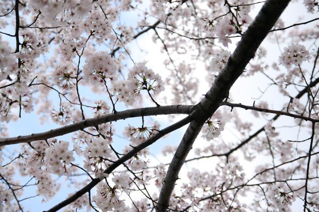 桜(さくら)126