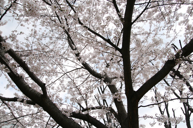 桜(さくら)127