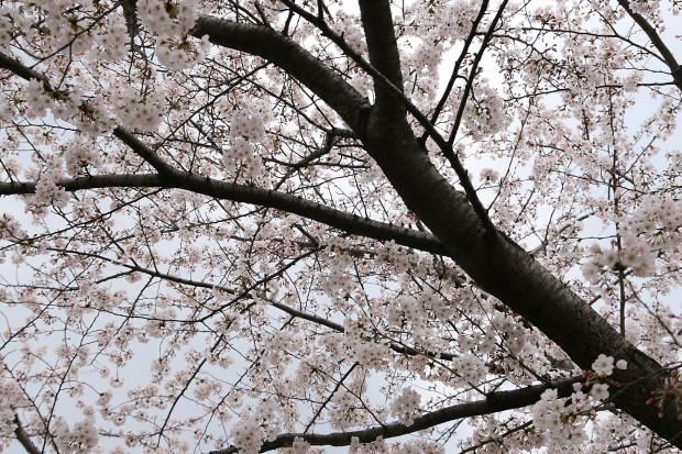 桜(さくら)128