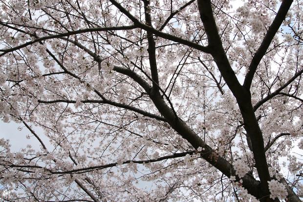 桜(さくら)129