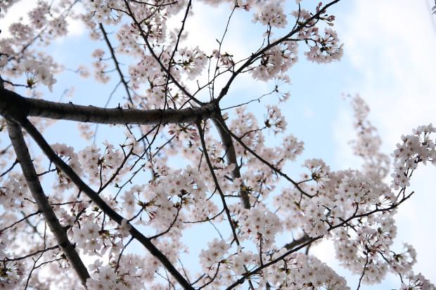 桜(さくら)130
