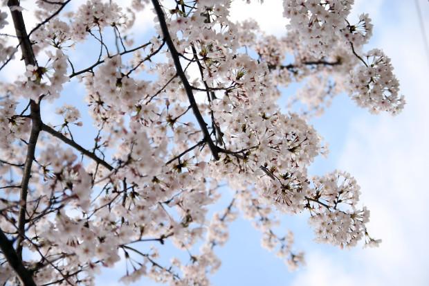 桜(さくら)131