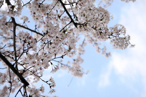 桜(さくら)132