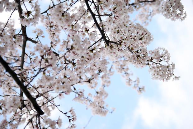 桜(さくら)133